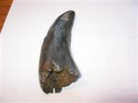 SUPER LARGE TREX 5+ INCH POINT TOOTH pic 4